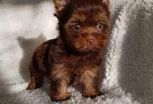 Inzercia psov: Yorkshirsky terier čoko