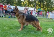 Inzercia psov: Nemecky ovčiak sPP