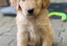 Inzercia psov: ŠTENIATKA HOVAWARTA