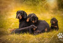 Inzercia psov: Predám šteniatka Slovenského kopova