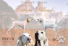 Inzercia psov: PORCELAINE šteniatka s PP
