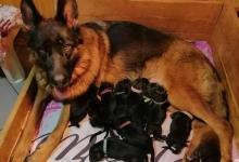 Inzercia psov: Nemecký ovčiak šteniatka