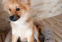 Inzercia psov: Nemecký špic
