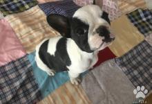 Inzercia psov: Predám kríženca