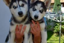 Inzercia psov: Sibírsky husky dve fenký
