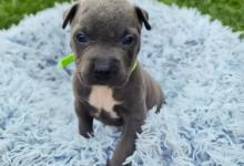 Inzercia psov: Americký stafordšírsky teriér - nar. 11.8.2021