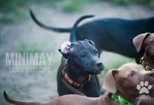 Inzercia psov: Americký Pit Bull Terrier Girl na predaj