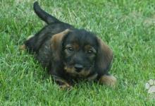 Inzercia psov: Predám šteniatko sučku jazvečíka hrubosrstého