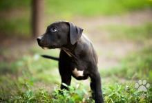 Inzercia psov: Americký Pit Bull Terrier chlapec na predaj