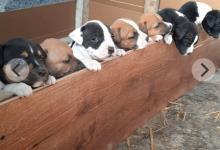 Inzercia psov: šteniatka amstaff