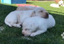 Inzercia psov: Labrador