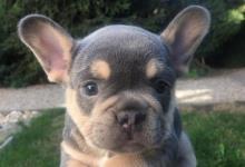 Inzercia psov: Francúzsky buldoček