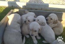 Inzercia psov: Zlatý retriever šteniatka