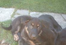 Inzercia psov: Predám šteniatka nemeckého ovčiaka čierny moulines