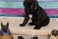 Inzercia psov: prodám štěňata Cane Corso s PP