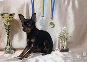 RUSKÝ TOY s PP(Russian Toy Terrier)