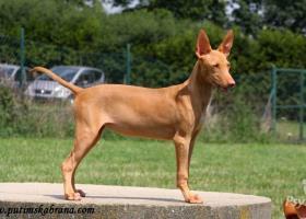 Štěňata faraonských psů