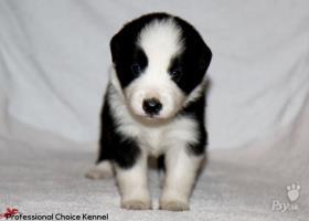 FCI male puppy