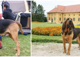 Predaj šteniatok bloodhound