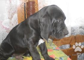 BLOODDOG - šteňatá na predaj