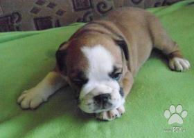 Prodám štěňata anglického bulldoga s PP