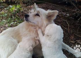 Darujeme šteniatka nemeckého špica