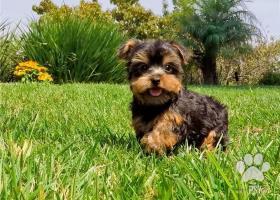 york mini mini yorkshirsky terier šteniatka