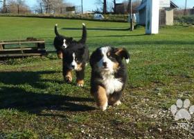 Bernský salašnický pes - štěňata s PP