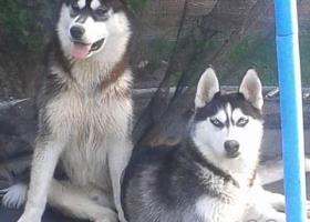 Sibirsky husky šteniatko