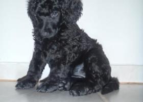 Královský pudl černý štěně