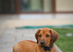 šteniatko ridgeback psík