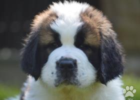 Bernardýn s PP (Svatobernardský pes PP)