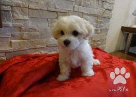 Bolonský psík, šteniatka