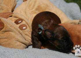 Briard s PP - šteniatka na predaj