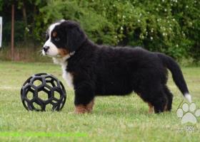 Bernský salašnický pes - štěňátka s PP (FCI)