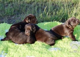 Štěňátka Labradorského retrívra