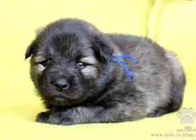 Nemecký špic vlčí - šteniatka