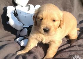 Zlatý retriever - šteniatka