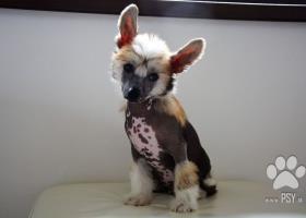 Čínský chocholatý pes - top štěňátka k odběru
