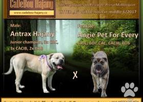 Perro de Presa Mallorquin – Cadebou