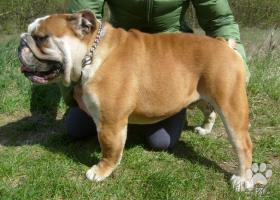 Anglický buldog -bulldog