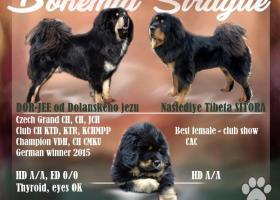 Štěňata Tibetských dog - odchov s 23 letou tradicí