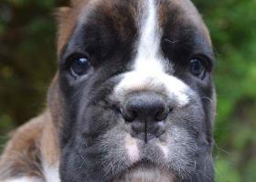 Predám šteniatka nemeckého boxera s rodokmenom.