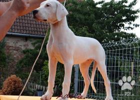 Nádherné fenky Argentinské dogy