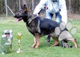 Německý ovčák s průkazem původu