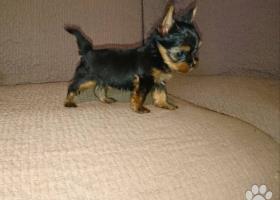 Psík mini yorkshirsky terier