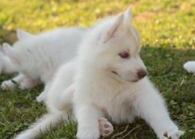 Sibírsky husky sučka s PP