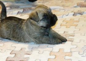 Krásne šteniatka kern/cairn terriera