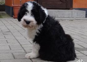 Nádherné šteniatka Bearded collie