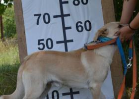 Atos- kríženec labradora hľadajúci domov